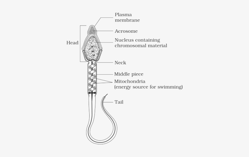 structure-of-a-mammalian-sperm-well-labeled-diagram